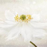 Buy canvas prints of White Japanese Anemone by Ann Garrett