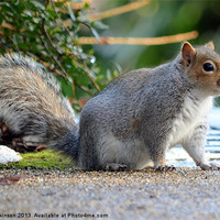 Buy canvas prints of SQUIRREL WHISKERS by David Atkinson