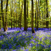Buy canvas prints of CARPET OF BLUEBELLS by David Atkinson