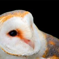 Buy canvas prints of BARN OWL by David Atkinson