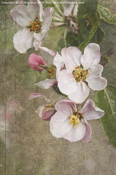 Apple Blossom  Canvas Print by LIZ Alderdice