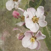 Buy canvas prints of Apple Blossom  by LIZ Alderdice