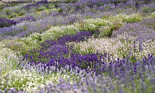 The Lavender Garden Canvas print by LIZ Alderdice