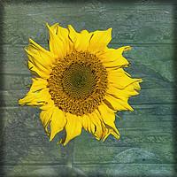 Buy canvas prints of Sunflower by LIZ Alderdice