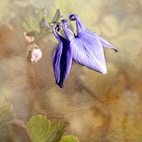 Buy canvas prints of Blue Columbine by LIZ Alderdice