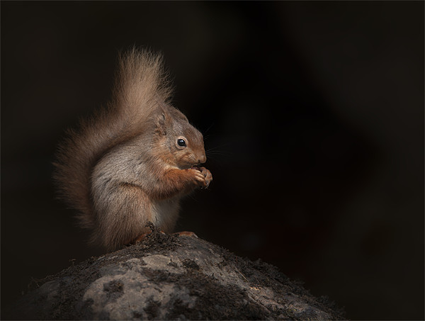 Red Squirrel Canvas print by Natures' Canvas: Wall Art  & Prints by Andy Astbury