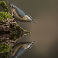 Buy canvas prints of Nuthatch Reflection by Natures' Canvas: Wall Art  & Prints by Andy Astbury