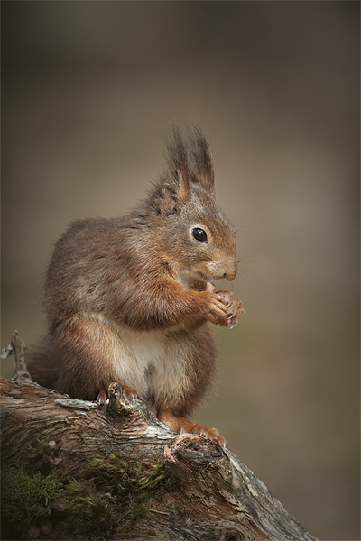 Got Nuts Canvas print by Natures' Canvas: Wall Art  & Prints by Andy Astbury
