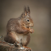 Buy canvas prints of Got Nuts by Natures' Canvas: Wall Art  & Prints by Andy Astbury