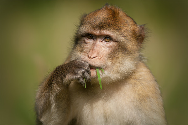 Barbary Macaque Framed Print by Natures' Canvas: Wall Art  & Prints by Andy Astbury