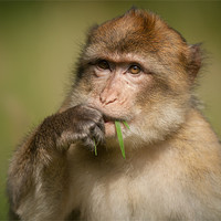 Buy canvas prints of Barbary Macaque by Natures' Canvas: Wall Art  & Prints by Andy Astbury