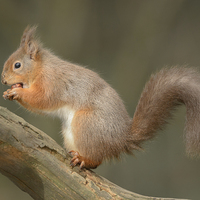Buy canvas prints of Red Squirrel by Natures' Canvas: Wall Art  & Prints by Andy Astbury