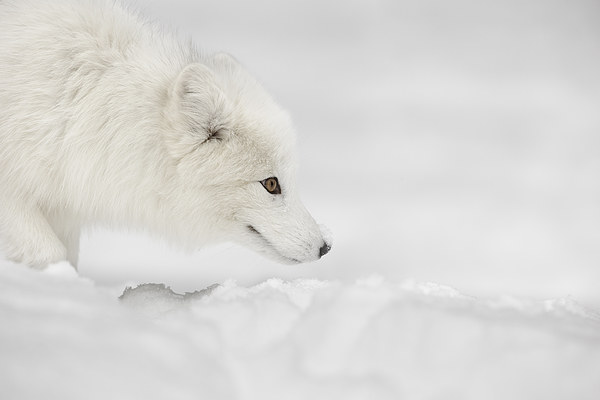 Arctic Fox Canvas print by Natures' Canvas: Wall Art & Prints by Andy Astbury