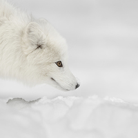 Buy canvas prints of Arctic Fox by Natures' Canvas: Wall Art & Prints by Andy Astbury