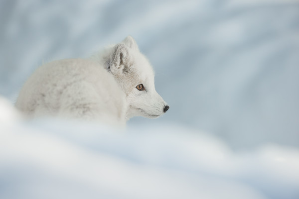 An Arctic Fox in Snow. Canvas print by Natures' Canvas: Wall Art & Prints by Andy Astbury