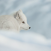 Buy canvas prints of An Arctic Fox in Snow. by Natures' Canvas: Wall Art & Prints by Andy Astbury