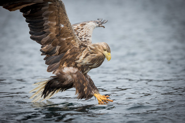 Male White-tailed Eagle Framed Print by Natures' Canvas: Wall Art & Prints by Andy Astbury
