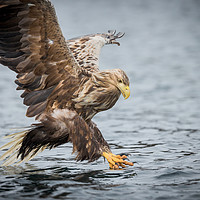 Buy canvas prints of Male White-tailed Eagle by Natures' Canvas: Wall Art & Prints by Andy Astbury