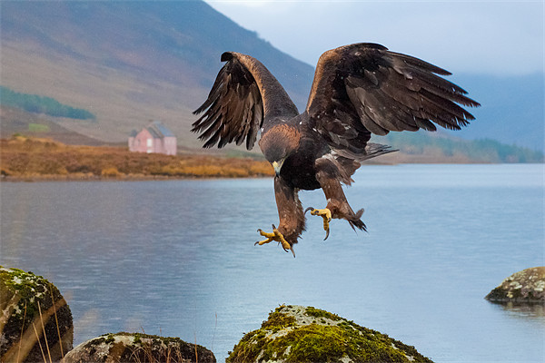 Golden Eagle Canvas print by David Tyrer