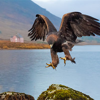 Buy canvas prints of Golden Eagle by David Tyrer