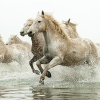 Buy canvas prints of Camargue Horses by David Tyrer