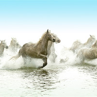 Buy canvas prints of White Horses by David Tyrer