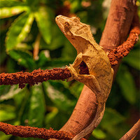 Buy canvas prints of Crested Gecko by David Tyrer