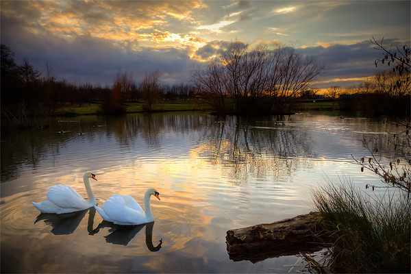 Swans at Sunset Canvas Print by David Tyrer