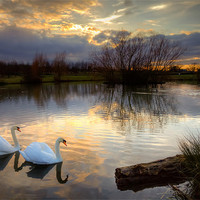 Buy canvas prints of Swans at Sunset by David Tyrer
