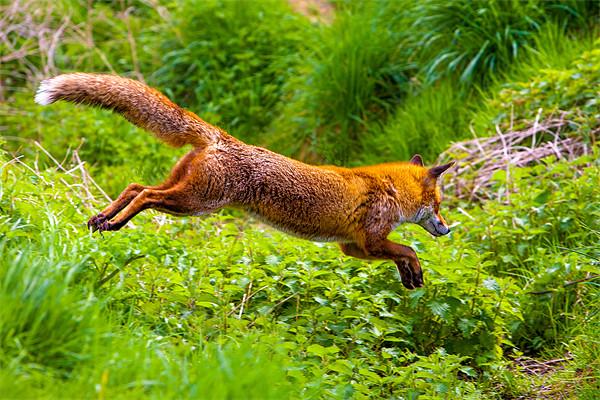 Flying Fox Framed Mounted Print by David Tyrer