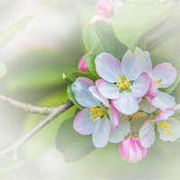Buy canvas prints of Apple Blossom by David Tyrer