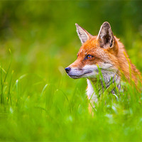 Buy canvas prints of Red Fox by David Tyrer