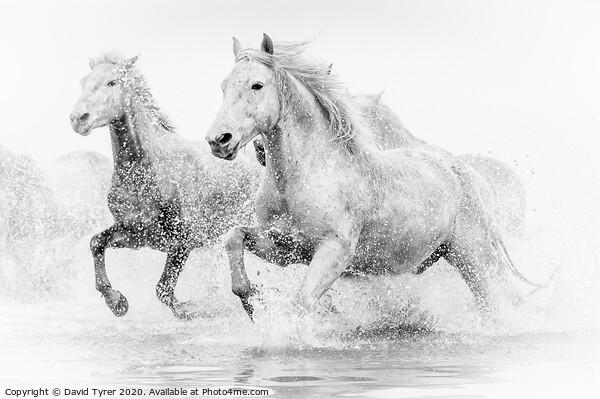 Camargue Horses Framed Print by David Tyrer
