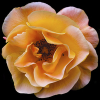 Buy canvas prints of  Solitary English Yellow Rose by David Yeaman