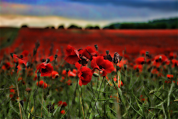 Field of Remembrance Canvas print by Dave Godden