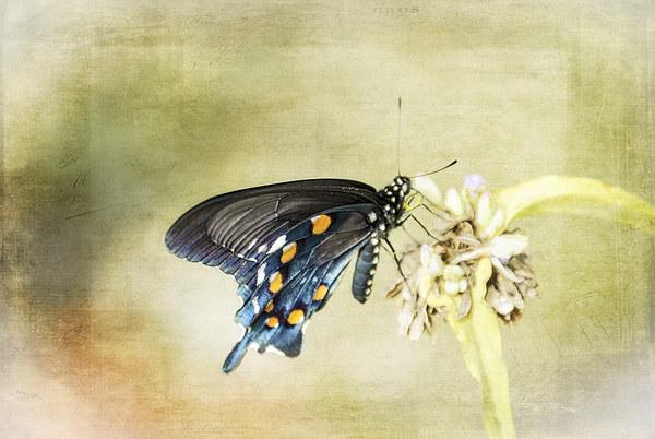 Swallowtail Canvas print by Judy Hall-Folde