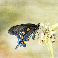 Buy canvas prints of Swallowtail by Judy Hall-Folde