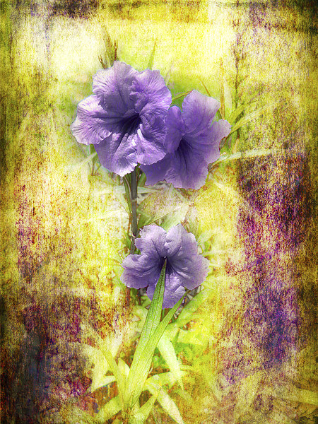 Flowering Mexican Petunias 2 Canvas print by Judy Hall-Folde