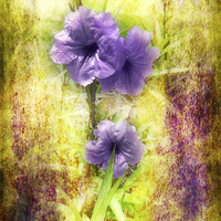 Buy canvas prints of Flowering Mexican Petunias 2 by Judy Hall-Folde