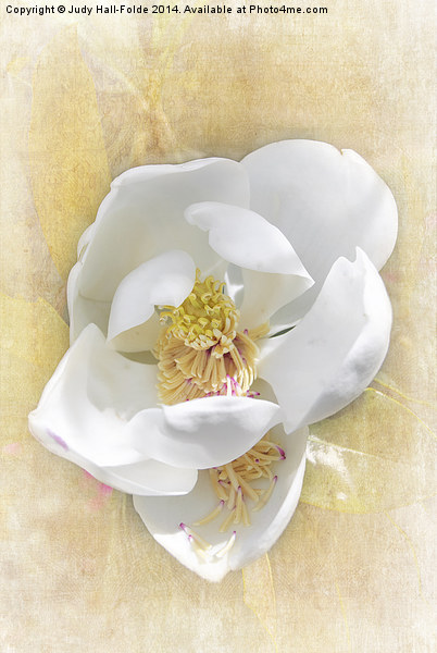 Sweet Southern Magnolia Canvas print by Judy Hall-Folde