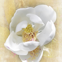 Buy canvas prints of  Sweet Southern Magnolia by Judy Hall-Folde