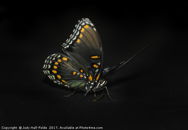 Limenitis arthemis Canvas print by Judy Hall-Folde