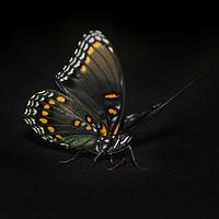 Buy canvas prints of Limenitis arthemis by Judy Hall-Folde