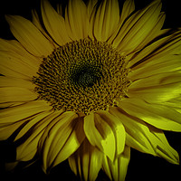 Buy canvas prints of Sunflower Close Up by Judy Hall-Folde