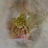 Buy canvas prints of Magnolia by Judy Hall-Folde