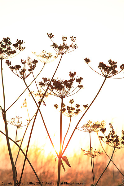 Cow Parsley (Keck) at Sunset. Canvas print by Digitalshot Photography