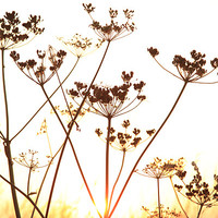 Buy canvas prints of Cow Parsley (Keck) at Sunset. by Digitalshot Photography