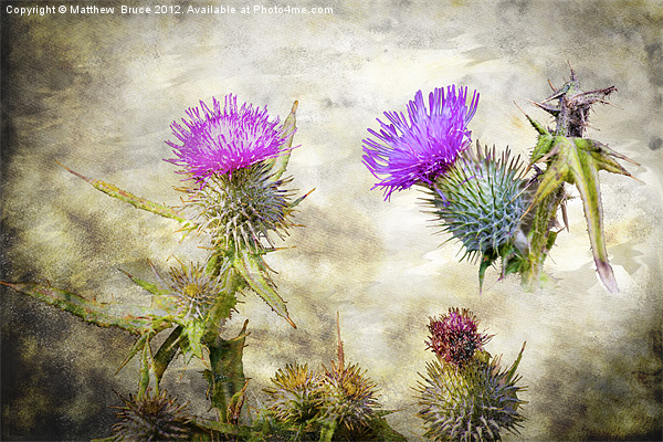 Scottish Thistle Framed Mounted Print by Matthew  Bruce