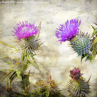 Buy canvas prints of Scottish Thistle by Matthew  Bruce