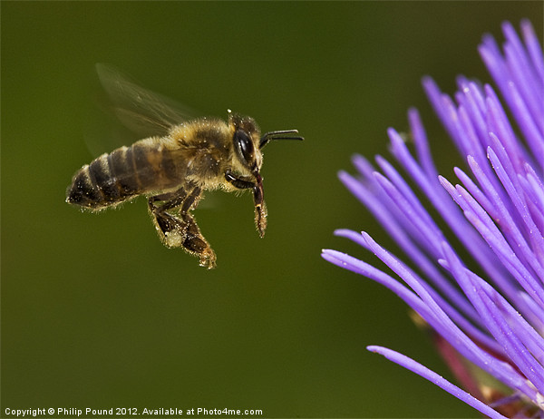 Honey Bee in Flight Canvas print by Philip Pound